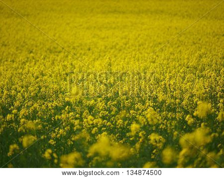 rapeseed field with yellow flowers. Shallow DOF