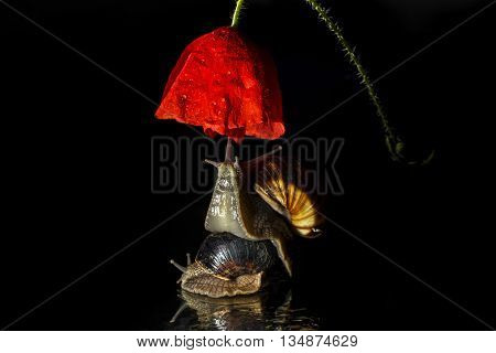Snails and poppy flower isolated on black background