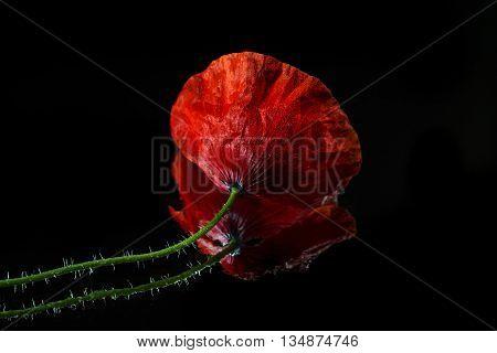 Single Poppy  flower isolated on black  background