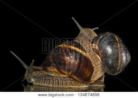 Two  garden snails isolated on black  background
