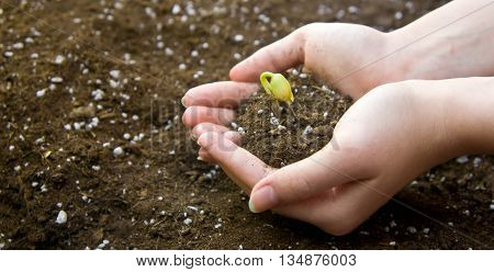 the female young hand holds germinated haricot in two palms, is ready to landing to the earth, young green leaves,