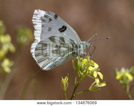 A Checkered White Butterfly (Pontia protodice) on yellow flowers