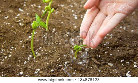 the female young hand waters germinated haricot to the earth with fertilizers, small green leaves, one hand