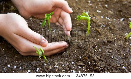 the female young hand plants germinated haricot to the earth with fertilizers, small green leaves, two hands