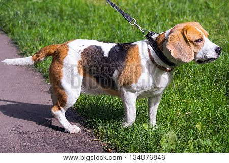 Beagle Dog On A Natural Green Background