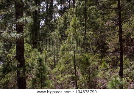 Forest of Pinus canariensis. Pine trees in Tenerife, road Pinolere to Teide