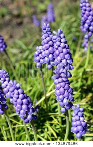 Muscari is a genus of perennial bulbous plants native to Eurasia. A number of species of Muscari are used as ornamental garden plants. Other common names are baby's breath and bluebell