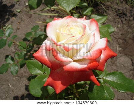 Nostalgic hybrid tea white colored pink rose 'Nostalgie'.