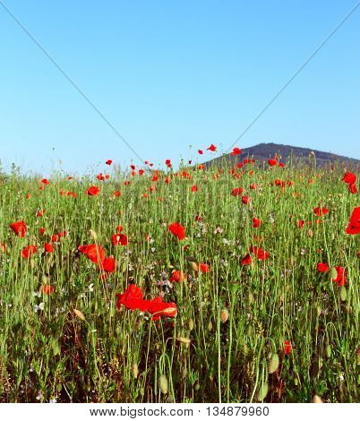 Poppy Field In Summer