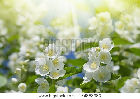 Summer background with blooming jasmine in the sunshine
