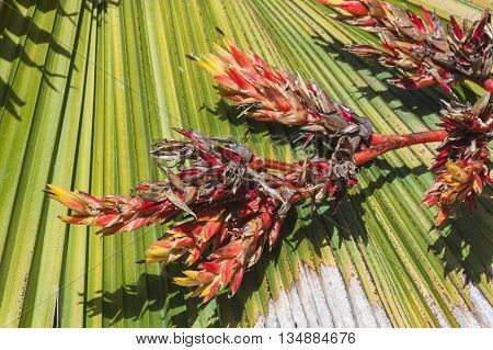 Dry Dying Flowers On Damaged Palm Frond