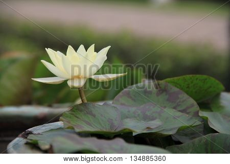 beautiful white Lotus flower on nature background