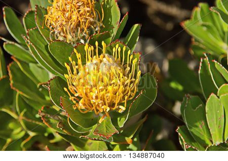 Yellow protea flowers in cape peninsula, Cape of good hope, South Africa