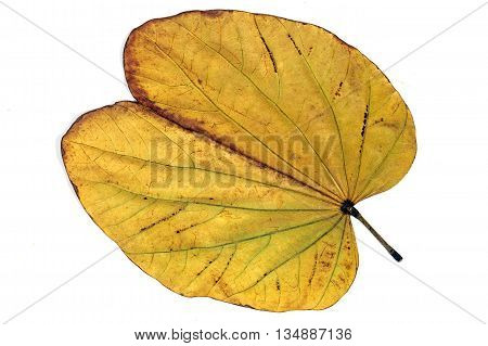 Above View Yellow Autumn Colored  Camels Foot Leaf