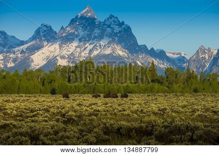 Bison buffalo in foreground of beautiful sheer snow covered mountain peeks against blue sky crisp air natural scenic outdoor western landscape