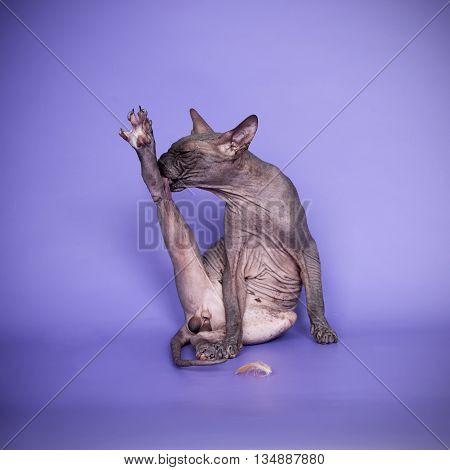 Canadian violet sphynx cat licks himself funny on a color background