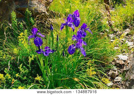 beautiful iris flowers on an alpine meadow