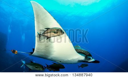 Manta Ray at Isla Revillagigedos in Mexico