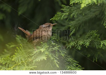 Eurasian Wren (Troglodytes troglodytus) sitting on a Branch of a Conifer