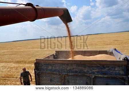 At the time harvest was hot - is picking ripe wheat