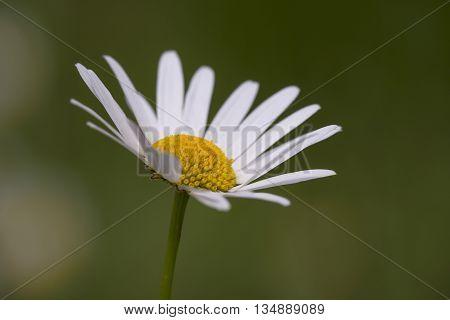 Oxeye Daisy (Leucanthemum vulgare) flower flowering in an Arboretum