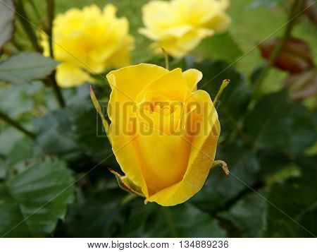 rose flower , rose , eglantine ,  dog-rose , yellow rose flower
