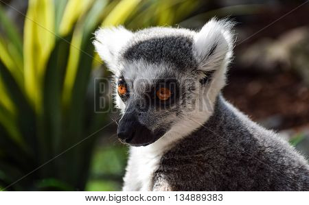 Cute looking Lemur Portrait with green dark background staring to the left side with light from the left side