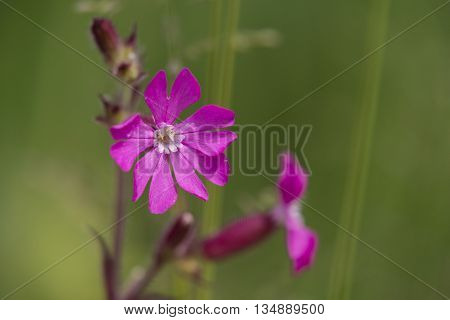 Red Campion (Silene dioica) flowering in a bank