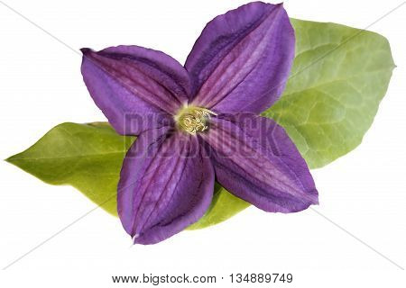 Blue clematis flower, isolated on white background