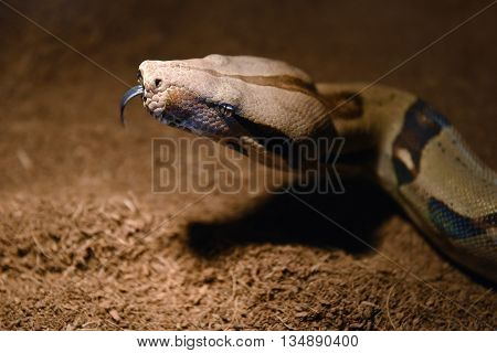 Snake Boa constrictor, close-up of his head