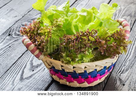 Fresh crispy lettuce and Lollo Rossa in the basket. The source of vitamins and minerals detox diet health or vegetarian food concept