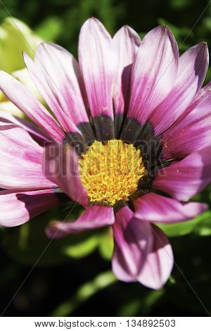 Vibrant pink flower, gerber daisy with yellow center