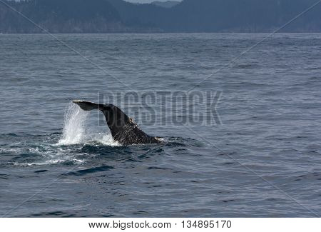 Water runs off a humpback whale's tail as it lifted high above the water.