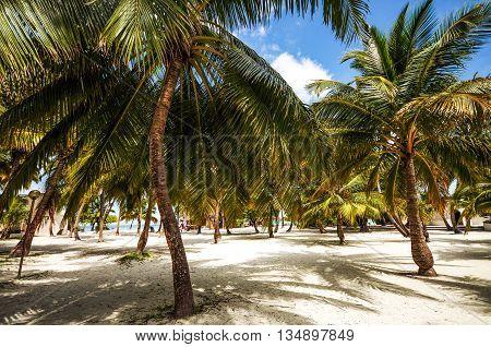 Coconut Palm grove on the Maldivian beach in sunny hot day.