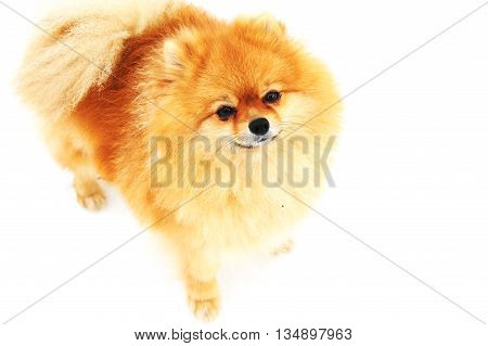 Adorable Pomeranian Sptiz with ginger colored fur on white background