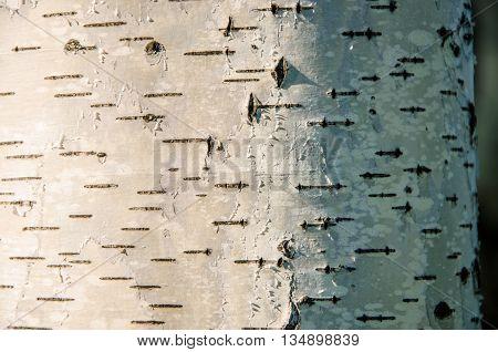 birch bark . summer landscape . closeup of a tree trunk . birch bark close-up