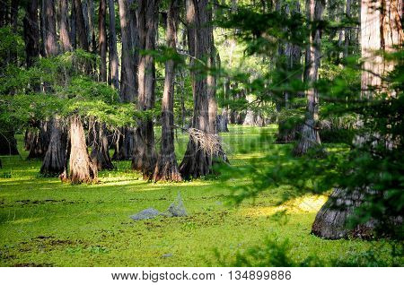 Bald cypress standing in a lush, green Louisiana swamp
