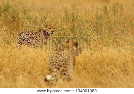 Cheetahs in the yellow grass of Serengeti