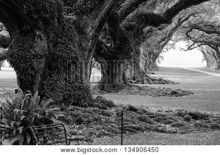 A black and white image of an alley of giant oaks on a Louisiana Plantation