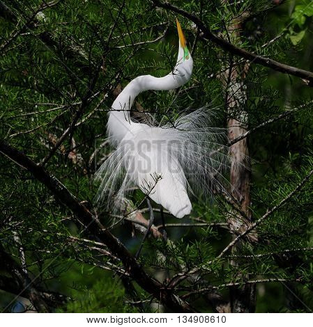 A Great Egret putting on an elaborate display trying to catch the eye of a willing mate.
