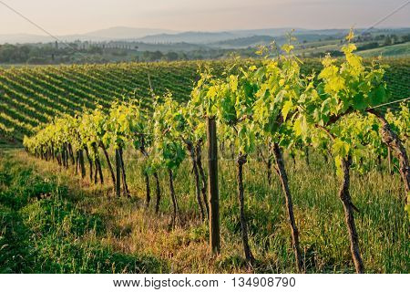 Rows of vines in Tuscany, sunrise shot