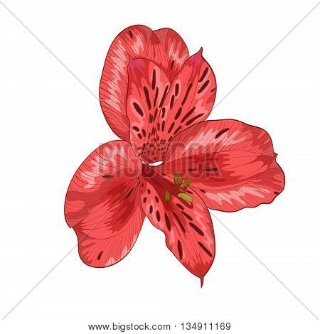 Beautiful red alstroemeria flower isolated on white background Hand-drawn with effect of drawing in watercolor