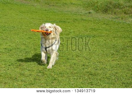 Golden retriever dog with long hair. Golden Retrievers are very smart dog that are loyal and friendly