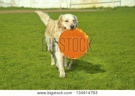 Golden retriever dog with long hair. Golden Retrievers are very smart dog that are loyal and friendly .Background