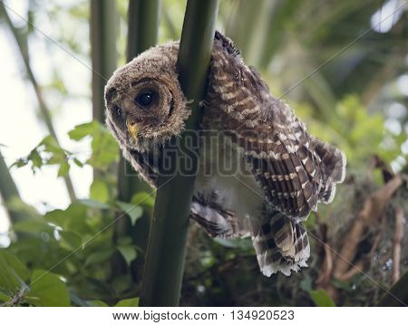 Barred Owlet Perches on a palm tree