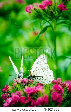 butterfly carnation summer nature silhouette garden macro