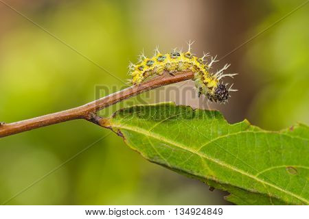 Mature Caterpillar Of Colour Segeant Butterfly Before Transform To Larva