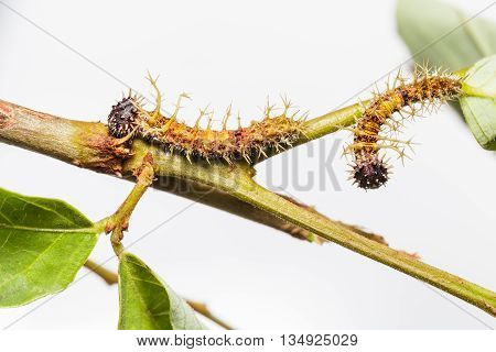 Caterpillars of colour sergeant butterfly in 4th instar walking on twig