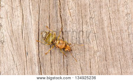 The queen red ant Walking on wood
