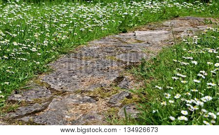 Rock foot path lined with blooming white daisy flowers in Spring